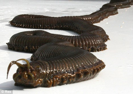 worm1 giant sea worm discovered by aquarium staff