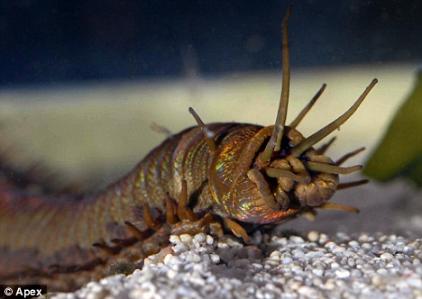 worm2 giant sea worm discovered by aquarium staff