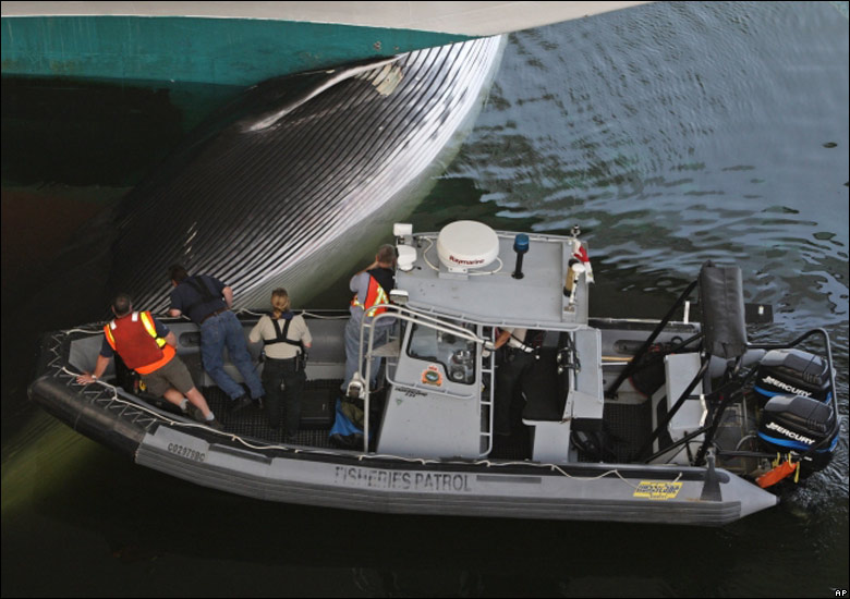 1 Whale wedged on cruise ship bow