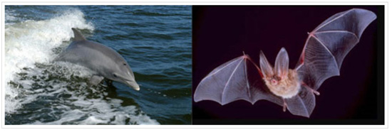 100127Bats Echolocation in bats and whales based on same changes to same gene