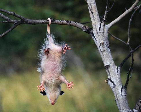 280692 ever seen possum before Possum Throwing