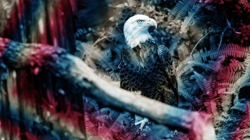 p 1 trump guts the endangered species act that saved bald eagles from extinction 500x281 Trump just gutted the law that saved American bald eagles from extinction