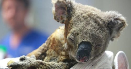 https3A2F2Fspecials images.forbesimg.com2Fimageserve2F11886272932F960x0 500x263 Koalas 'Functionally Extinct' After Australia Bushfires Destroy 80% Of Their Habitat